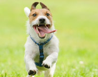 Aanbiddelijke grappige hond die met tong uit open mond lopen Stock Afbeeldingen