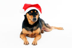 Aanbiddelijke hond die de hoed van de Kerstman draagt Stock Fotografie