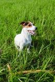 Aanbiddelijke hond die zwaar op gras ademen royalty-vrije stock afbeeldingen