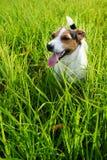 Aanbiddelijke hond die zwaar op gras ademen royalty-vrije stock afbeelding