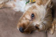 Aanbiddelijke Hond met Kraag Stock Foto's