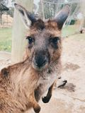 Aanbiddelijke kangoeroe australië stock afbeeldingen