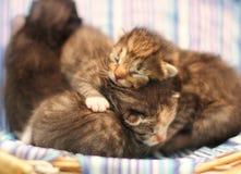 Aanbiddelijke katjes zes oude dagen royalty-vrije stock foto's