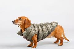 Aanbiddelijke kleine hondtekkel met de winterdoek royalty-vrije stock foto's
