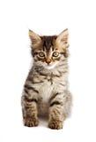 Aanbiddelijke kleine kat op witte bodem Stock Foto's