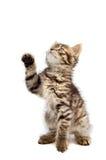 Aanbiddelijke kleine kat op witte bodem Stock Foto