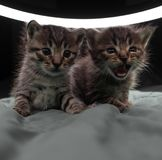 Aanbiddelijke kleine katjes stock afbeelding