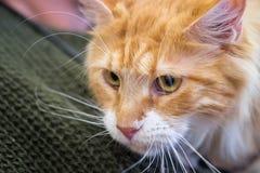 Aanbiddelijke Maine Coon Cat bij jaarlijkse katten toont royalty-vrije stock afbeelding