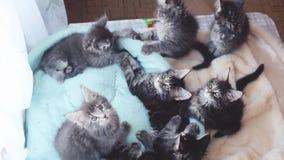 Aanbiddelijke Maine Coon-katjes die in een katten` s blauwe bank en een grappige beweging afwisselend liggen hun hoofden 1920x108 stock footage