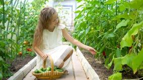 Aanbiddelijke meisje het oogsten komkommers en tomaten in serre stock video