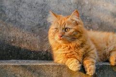 Aanbiddelijke Oranje Munchkin Cat Relaxing On Fence Stock Afbeelding