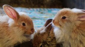 Aanbiddelijke pluizige konijntjeskonijnen die uit zilveren kom bij de markt van de provincie eten stock videobeelden