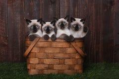 Aanbiddelijke Siamese Katjes in een Mand Stock Foto's