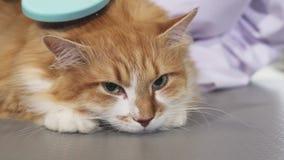 Aanbiddelijke slaperige gemberkat die door de eigenaar worden geborsteld stock video
