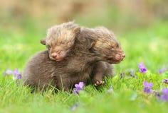 Aanbiddelijke vossen in viooltjes Royalty-vrije Stock Fotografie