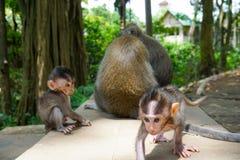 Aanbiddelijke weinig baby macaque apen bij Heilige Aap Forest Ubud, Bali, Indonesi? royalty-vrije stock fotografie