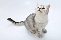 Aanbiddelijke zilveren tabby Schotse kat die omhoog eruit ziet stock fotografie