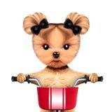 Aanbiddelijke zitting van een hond op een fiets met mand Stock Foto's