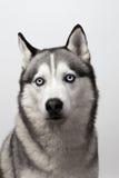 Aanbiddelijke zwart-wit met blauwe Schor ogen Het schot van de studio op grijze achtergrond Geconcentreerd op ogen Stock Afbeeldingen