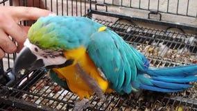Aandacht die ara naar papegaai streven stock videobeelden