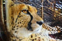 Aandachtig gezicht van het jonge wilde dier Stock Foto