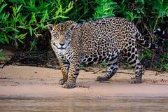 Aandachtig Jaguar royalty-vrije stock foto