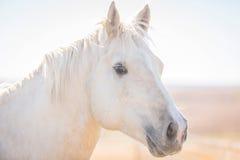 Aandachtig paard Palomino Royalty-vrije Stock Afbeelding