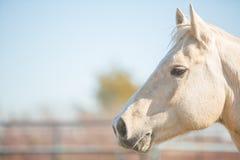 Aandachtig paard Palomino Stock Foto's