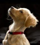Aandachtig Puppy in Kleur Royalty-vrije Stock Afbeelding