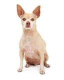Aandachtige Chihuahuazitting Stock Foto's