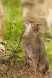 Aandachtige gestreepte katkat/Felis-catus in openlucht Stock Afbeelding