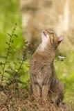 Aandachtige gestreepte katkat/Felis-catus in openlucht Stock Fotografie