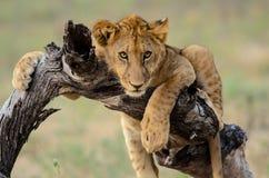 Aandachtige leeuwwelp die dicht op letten royalty-vrije stock foto