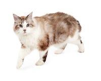 Aandachtige Ragodoll Cat Walking stock afbeeldingen