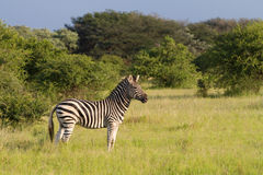 Aandachtige zebra Royalty-vrije Stock Afbeelding