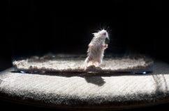 Aangestoken hamster Royalty-vrije Stock Afbeelding