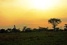 De Afrikaanse bomen van landschapsgiraffen bij zonsopgang Afrika Stock Foto's
