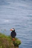 Aanimal, arctic, arctica, atlantic, beak, beautiful, beauty, bird, birding, black, cliff, clown, color, colorful, cute, detail, f. Atlantic Puffin Fratercula stock photography