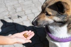 Aanmoediging van de hond na het bevel De stewardess geeft een traktatie aan de hond tijdens opleiding Opleiding van honden stock foto