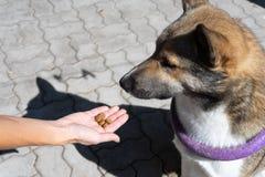 Aanmoediging van de hond na het bevel De stewardess geeft een traktatie aan de hond tijdens opleiding Opleiding van honden royalty-vrije stock foto