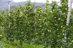 Aanplanting met Gouden - heerlijke appelen Royalty-vrije Stock Afbeeldingen