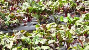 Aanplanting van Biet in landbouwbedrijf, de stad van DA Lat, Lam Dong-provincie, Vietnam stock footage