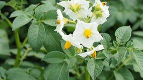 Aanplanting van bloeiende aardappel stock videobeelden