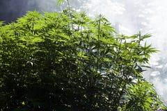 Aanplanting van cannabis, door zonlicht wordt verlicht dat Hennepinstallaties op een natuurlijke achtergrond stock afbeelding