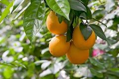 Aanplanting van citrusvrucht Stock Fotografie