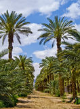 Aanplanting van dadelpalmen dichtbij Eilat, Israël Royalty-vrije Stock Foto