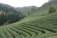 Aanplanting van de Boseong de groene thee stock afbeelding