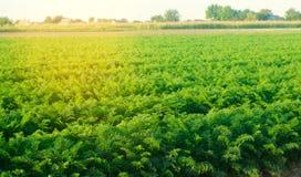 Aanplanting van de wortel op het gebied Mooi landschap Landbouw farming plantaardige rij Zonnige dag milieuvriendelijke agricultu royalty-vrije stock foto's