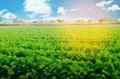 Aanplanting van de wortel op het gebied Mooi landschap Landbouw farming plantaardige rij Zonnige dag milieuvriendelijke agricultu royalty-vrije stock foto