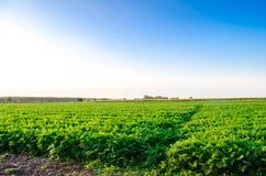 Aanplanting van de wortel op het gebied Mooi landschap Landbouw farming plantaardige rij Zonnige dag milieuvriendelijke agricultu stock foto